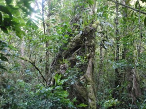 Bosque primario en Piedades Sur