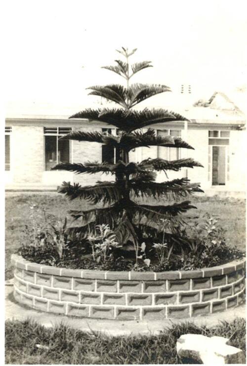 Araucaria sembrada en el jardín de la iglesia